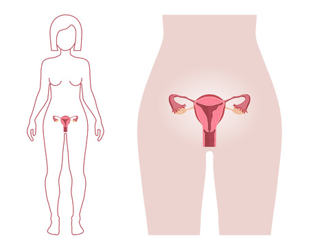 女性の生殖システム  イラスト・ベクター素材