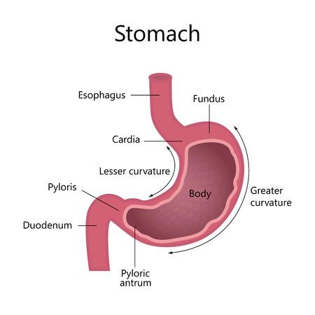Internal Structure Human Stomach