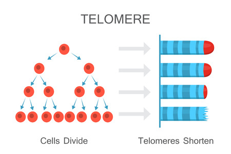Cells divide - telomeres shorten. Vector illustration design Ilustração