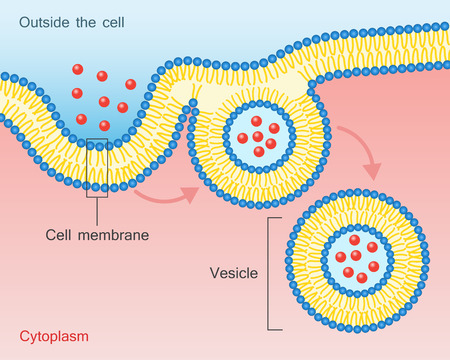 Endocytosis vesicle transport cell membrane.
