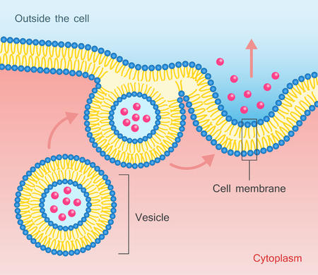 Exocytosis vesicle transport cell membrane. Illustration