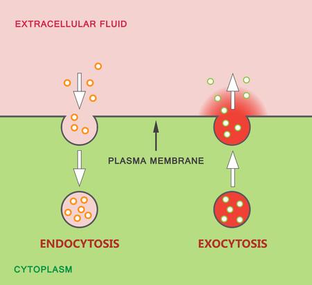 Endocytosis and Exocytosis Diagram