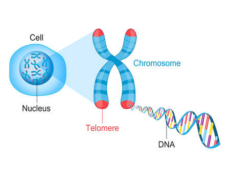 텔로미어 염색체와 DNA 일러스트