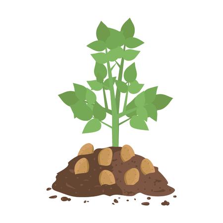 Potato Plant with Soil