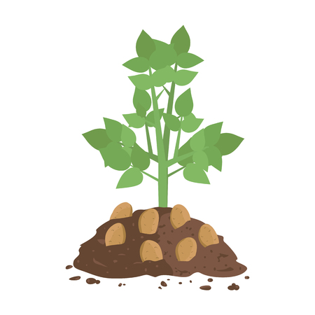 Potato Plant with Soil 免版税图像 - 96129229