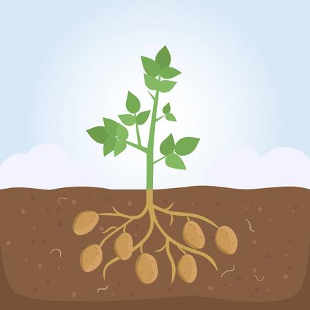 Potato Plant with Leaves and Roots