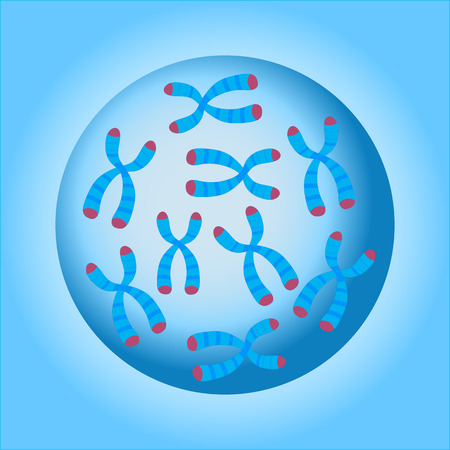 Chromosomes in the cell nucleus. Vector illustration