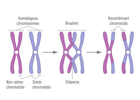 Dupliziertes homologes Chromosomenpaar und Crossing-over