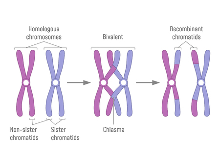 Duplicated Homologous Chromosomes Pair and Crossing-over Illustration
