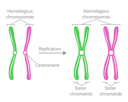Paar homologe Chromosomen