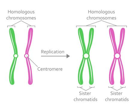 Par de cromosomas homólogos
