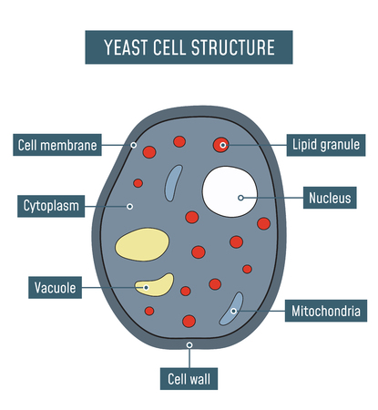 Yeast cell structure. Vector illustration