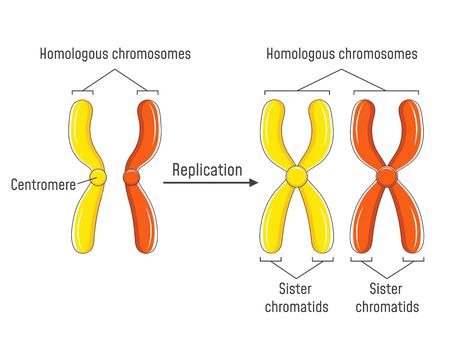 Homologe Chromosomen und Chromatiden Vektorgrafik
