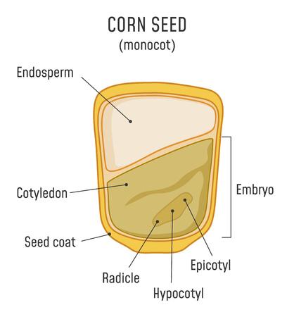 Struttura del seme di mais Monocot
