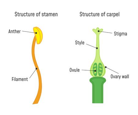 Estructura de estambre y carpelo. Diagrama de la parte de la flor