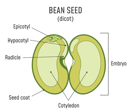 Bean Seed Structure. Anatomy of grain. Dicot seed diagram.