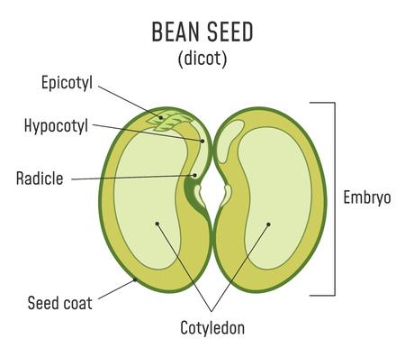 Estructura de la semilla de frijol. Anatomía del grano. Diagrama de semillas dicotiledóneas. Ilustración de vector