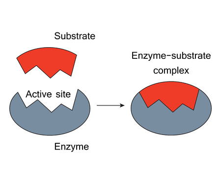 Lock and Key Model Enzyme Substrate Complex.