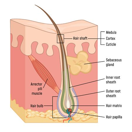 Human Skin and Hair Anatomy