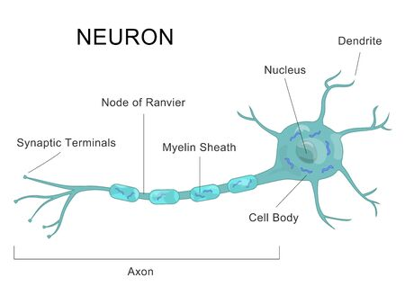 Human Neuron Structure Nerve Cell Medical Chart