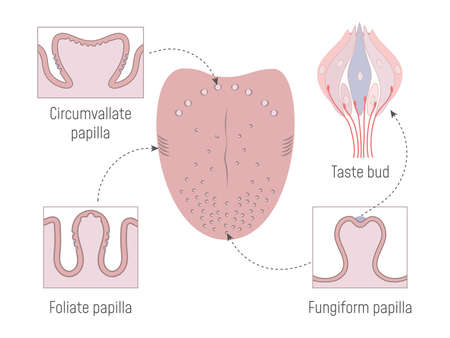 Lingual Gustatory Papillae and Taste Buds Anatomy