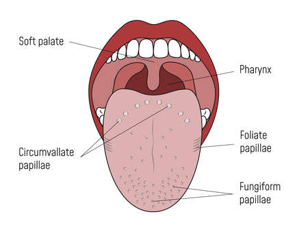 Lingual Gustatory Papillae and Taste Buds Human Mouth