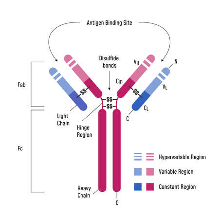 Immune System. Immunoglobulin Structure Ig Antibody Diagram.