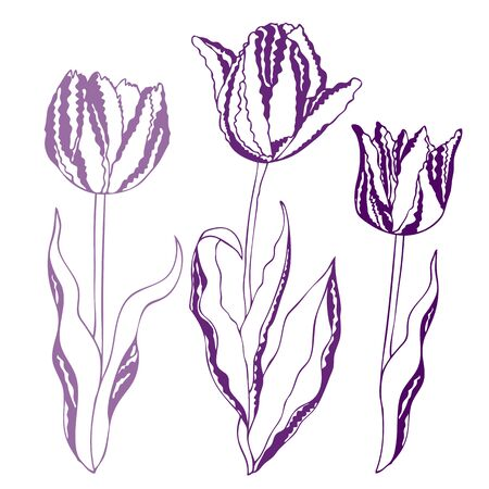 Vector illustration of tulips isolated on white background