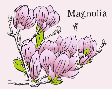 magnolia tree: Spring card design with hand-drawn flowers of magnolia