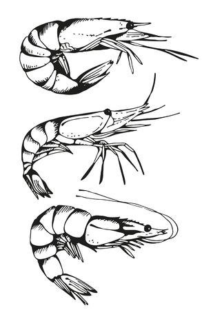 Shrimp drawing, vector hand drawn set