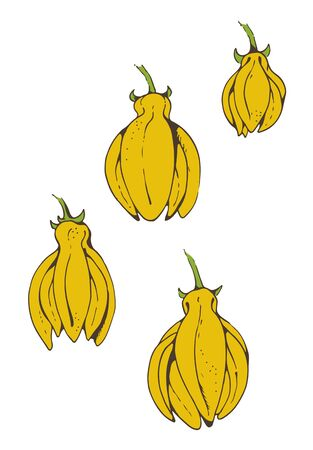 Flowers of Ylang Ylang, hand drawn vector illustration isolated on white background