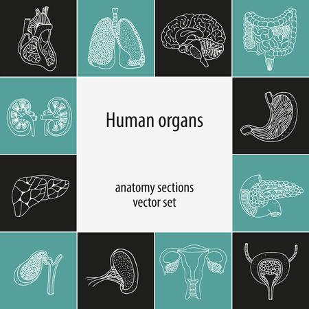 ovaries: Human organ set, anatomy vector illustration