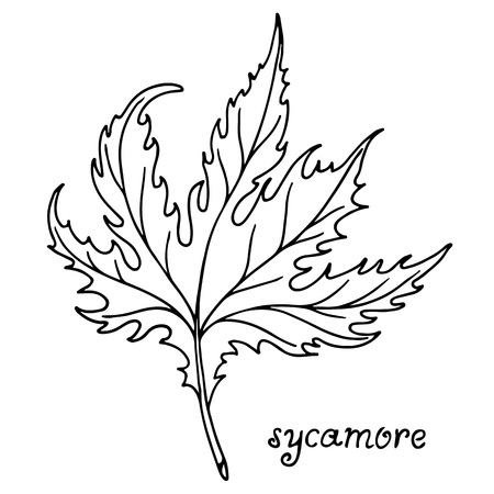 Sycamore tree leaf vector illustration, isolated on white background