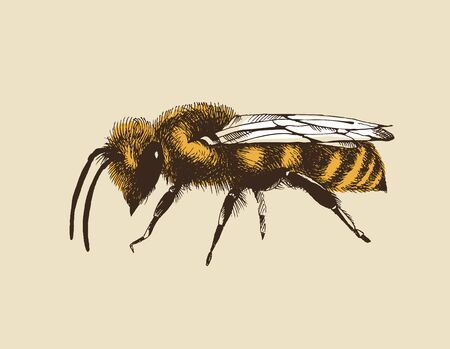 Honey bee color vector illustration in engraving style isolated on beige background