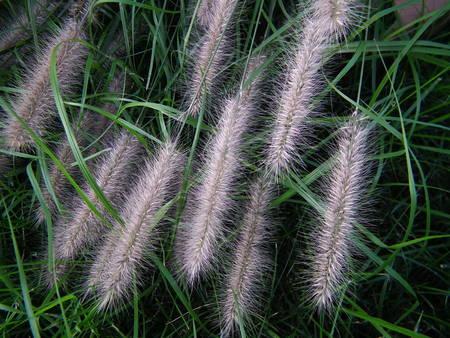 villus: reed