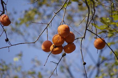 ripe Persimmon