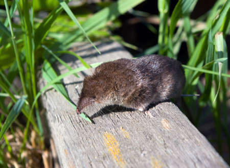 rodent: shrew on surfaces,small animal,mammal,rodent
