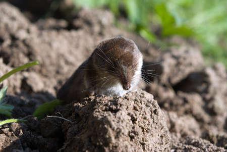 roedor: musara�a en las superficies, los peque�os animales, mam�feros, roedores
