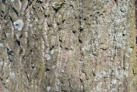 copse: Old bark of tree texture detail.Large area of tree bark