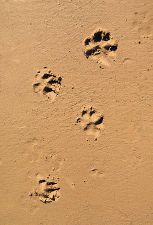 Dog paw print in the beach sand.Background traces of a dog on wet sand photo