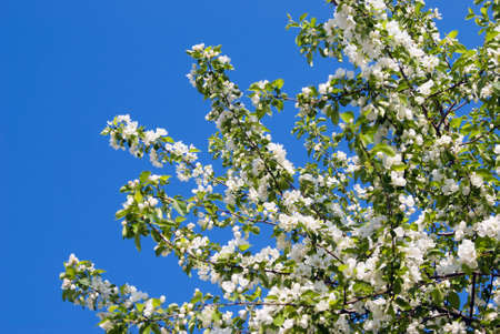 increase fruit: Apple blossom branch close-up