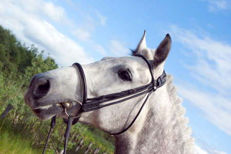 rein: Horse portrait.Horse is bridle