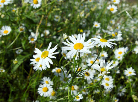 camomile on natural background - shallow dof photo