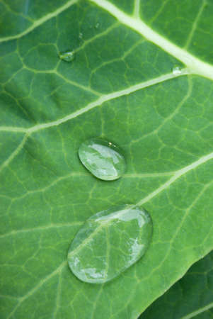 dripped: dripped water on sheet of the cabbage close up