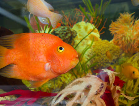 A colourful aquarium.red fish Stock Photo - 3944515