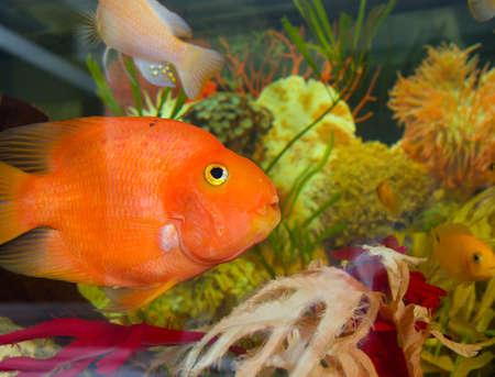 freshwater aquarium plants: A colourful aquarium.red fish