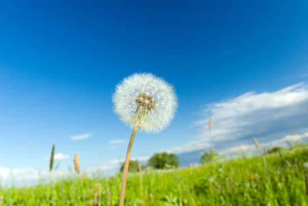 proliferation: dandelion on background meadow and blue sky Stock Photo