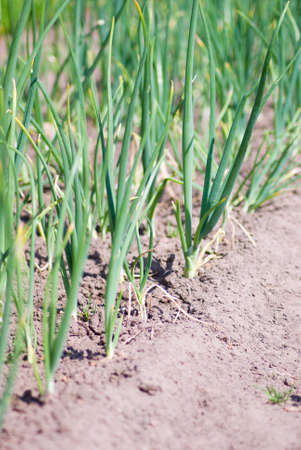 view of chive on the field.plantation onions photo