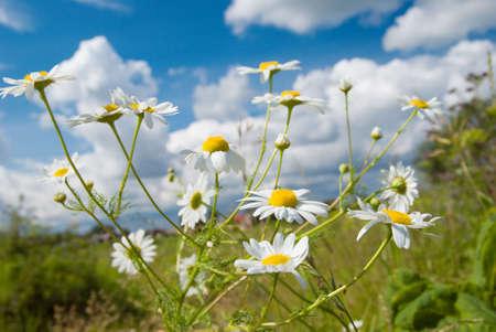 Beautiful summer. beautiful chamomiles on a sky background photo