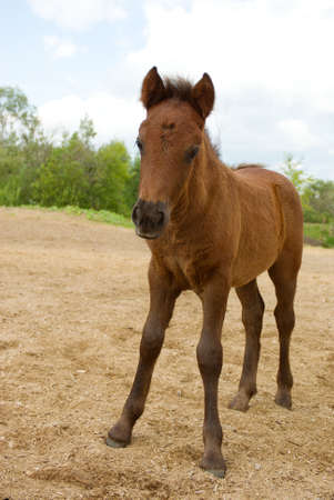 filly: Young Foal .Brown filly lie